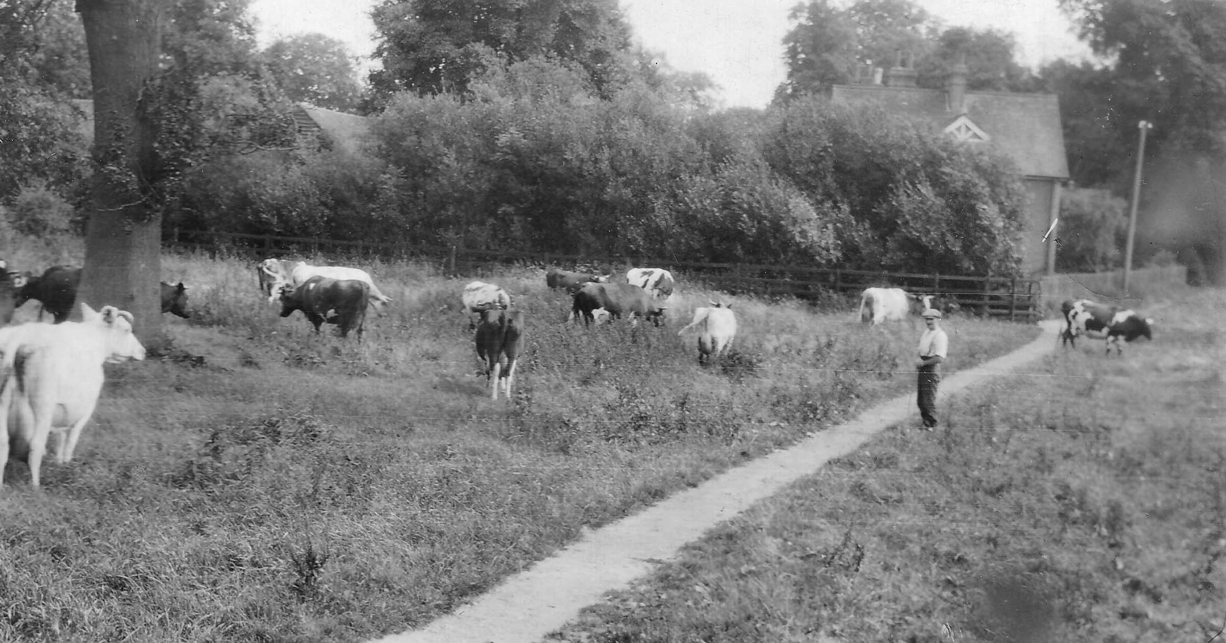 Cows in field at Sopwell